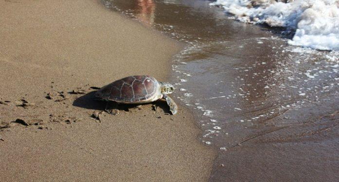 İztuzu Plajı'nda Caretta Caretta yuvalarına porsuk tehdidi