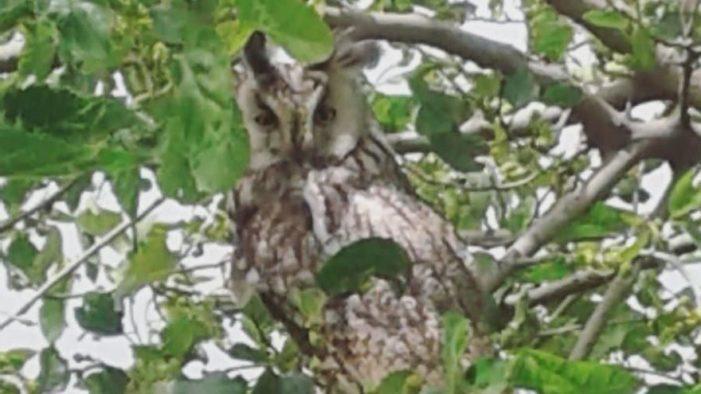 Boynuzlu baykuş Diyarbakır'da görüldü