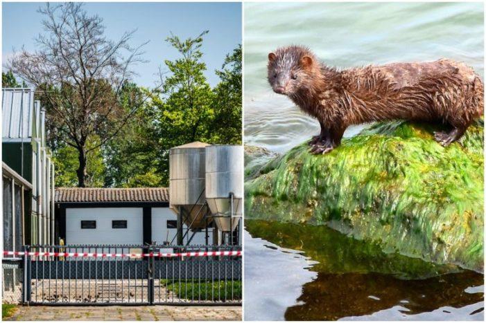 Hollanda hükümeti : 'Hayvanlardan insanlara Covid-19 bulaştı!..'