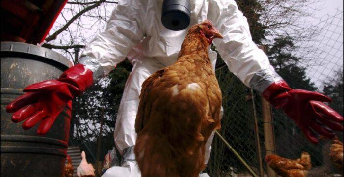 Avrupa'da kırmızı alarm: Kuş gribi yayılıyor!..