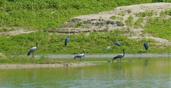Ak pelikanlar Afrika kıtasına yapacakları göçe hazırlanıyor